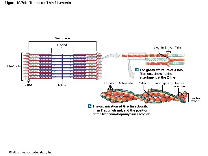 Figure 10 -7 ab Thick and Thin Filaments Sarcomere H band Actinin Z line