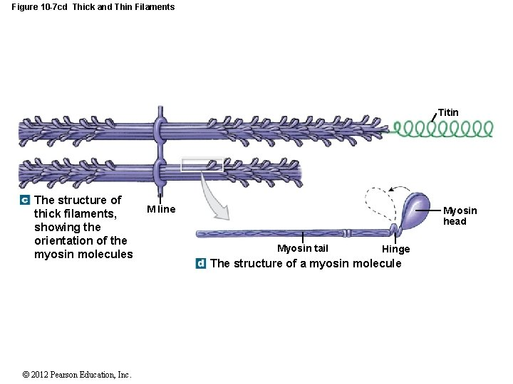 Figure 10 -7 cd Thick and Thin Filaments Titin The structure of thick filaments,