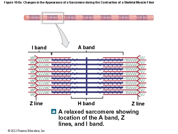 Figure 10 -8 a Changes in the Appearance of a Sarcomere during the Contraction