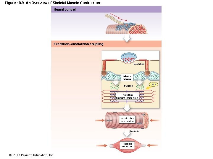 Figure 10 -9 An Overview of Skeletal Muscle Contraction Neural control Excitation–contraction coupling Excitation