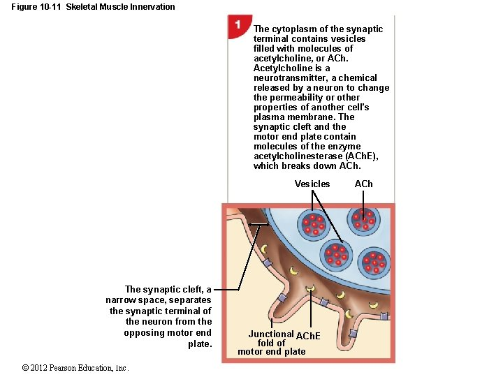 Figure 10 -11 Skeletal Muscle Innervation The cytoplasm of the synaptic terminal contains vesicles