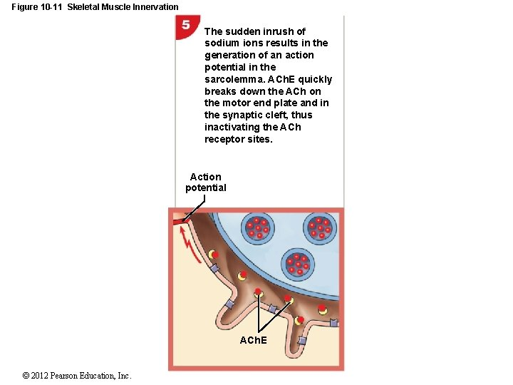Figure 10 -11 Skeletal Muscle Innervation The sudden inrush of sodium ions results in
