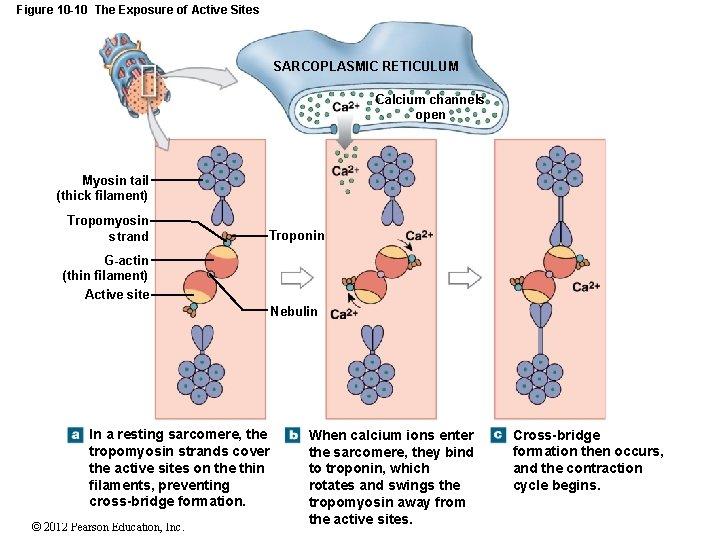 Figure 10 -10 The Exposure of Active Sites SARCOPLASMIC RETICULUM Calcium channels open Myosin