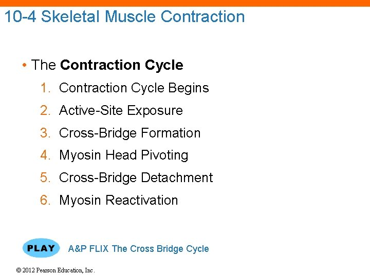 10 -4 Skeletal Muscle Contraction • The Contraction Cycle 1. Contraction Cycle Begins 2.