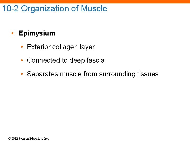 10 -2 Organization of Muscle • Epimysium • Exterior collagen layer • Connected to