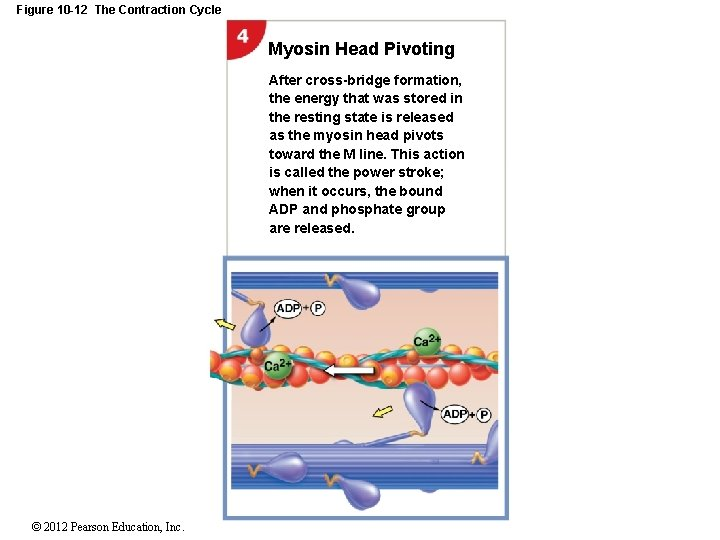 Figure 10 -12 The Contraction Cycle Myosin Head Pivoting After cross-bridge formation, the energy