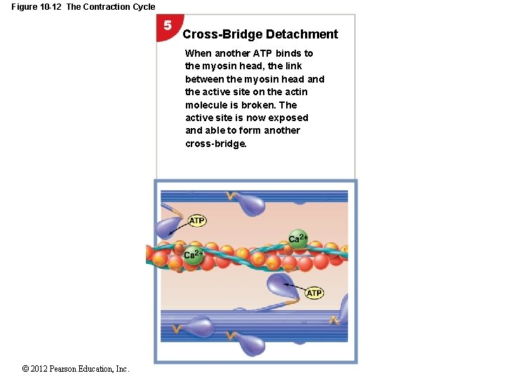 Figure 10 -12 The Contraction Cycle Cross-Bridge Detachment When another ATP binds to the