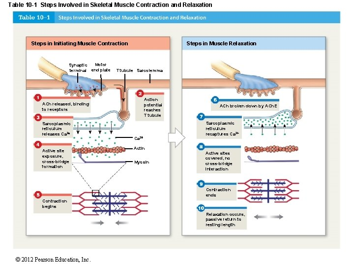 Table 10 -1 Steps Involved in Skeletal Muscle Contraction and Relaxation Steps in Initiating