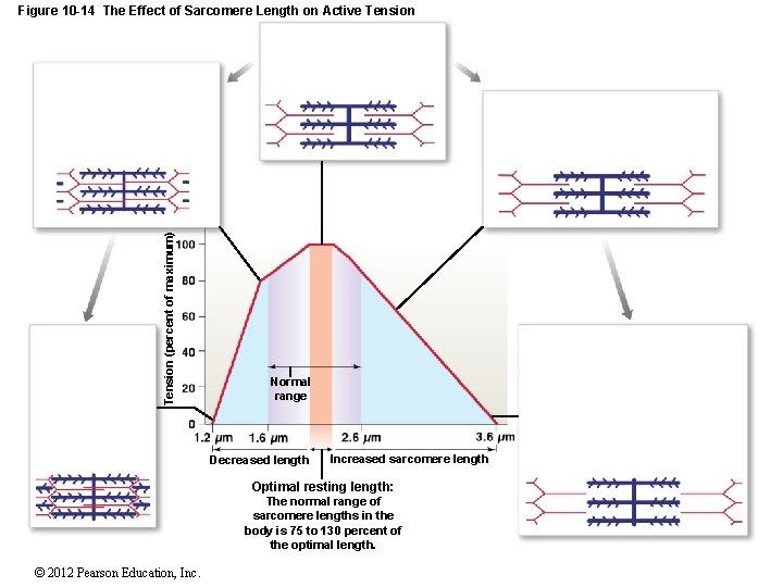 Tension (percent of maximum) Figure 10 -14 The Effect of Sarcomere Length on Active