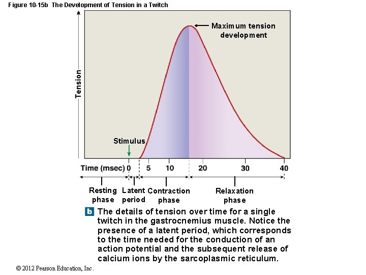 Figure 10 -15 b The Development of Tension in a Twitch Tension Maximum tension
