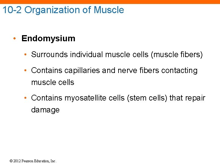 10 -2 Organization of Muscle • Endomysium • Surrounds individual muscle cells (muscle fibers)