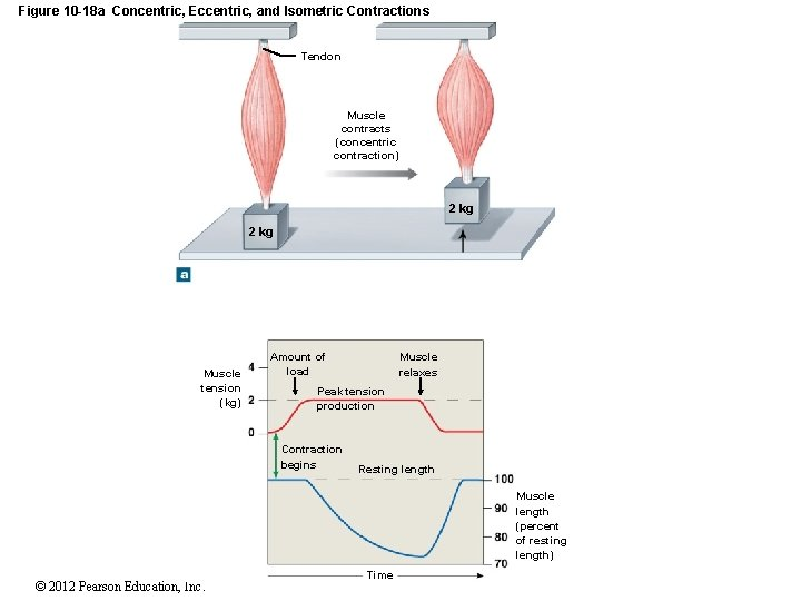 Figure 10 -18 a Concentric, Eccentric, and Isometric Contractions Tendon Muscle contracts (concentric contraction)