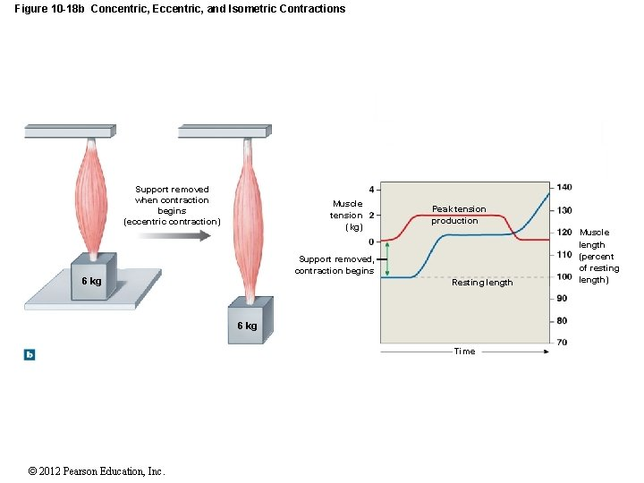 Figure 10 -18 b Concentric, Eccentric, and Isometric Contractions Support removed when contraction begins