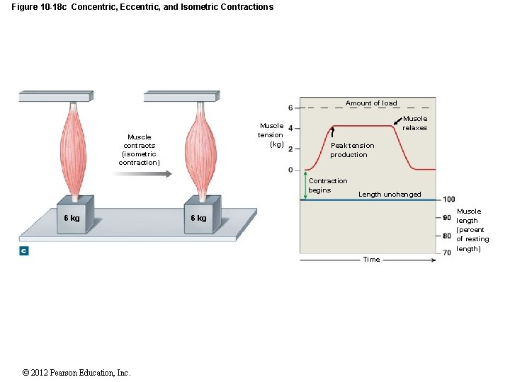 Figure 10 -18 c Concentric, Eccentric, and Isometric Contractions Amount of load Muscle tension