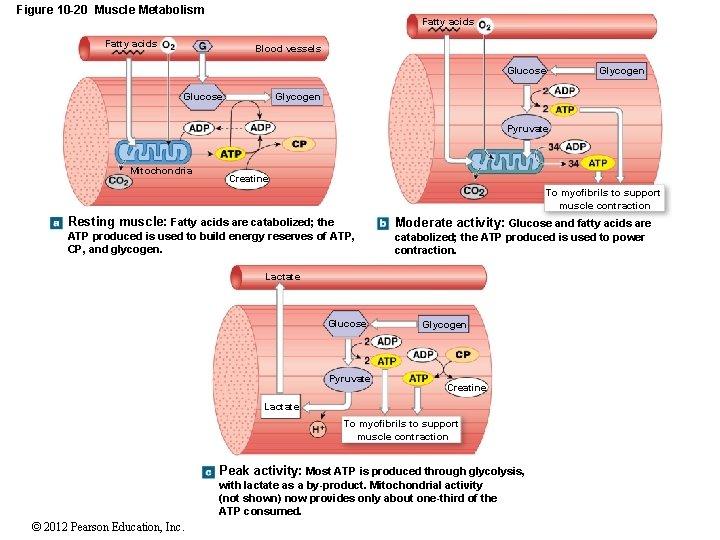 Figure 10 -20 Muscle Metabolism Fatty acids Blood vessels Glucose Glycogen Pyruvate Mitochondria Creatine