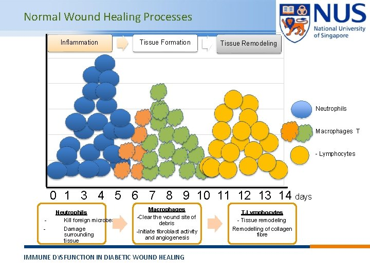 Normal Wound Healing Processes Inflammation Tissue Formation Tissue Remodeling Neutrophils Macrophages T - Lymphocytes