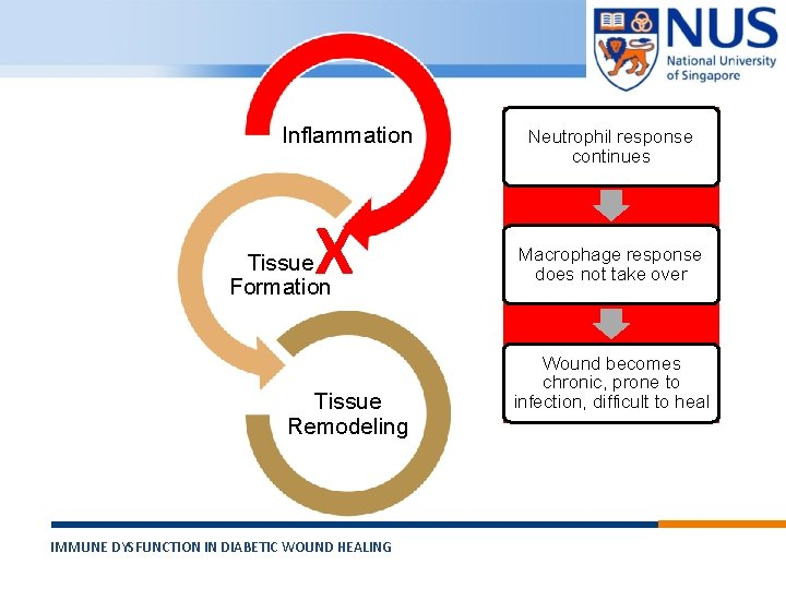 Inflammation X Tissue Formation Tissue Remodeling IMMUNE DYSFUNCTION IN DIABETIC WOUND HEALING © Copyright