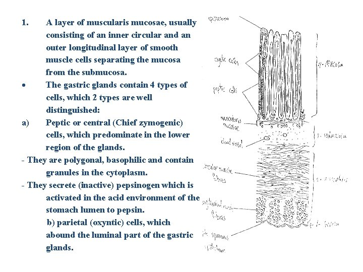 1. A layer of muscularis mucosae, usually consisting of an inner circular and an