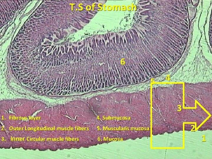 T. S of Stomach 6 5 4 3 1. Fibrous layer 4. Submucosa 2.