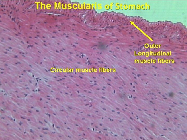 The Muscularis of Stomach Outer Longitudinal muscle fibers Circular muscle fibers