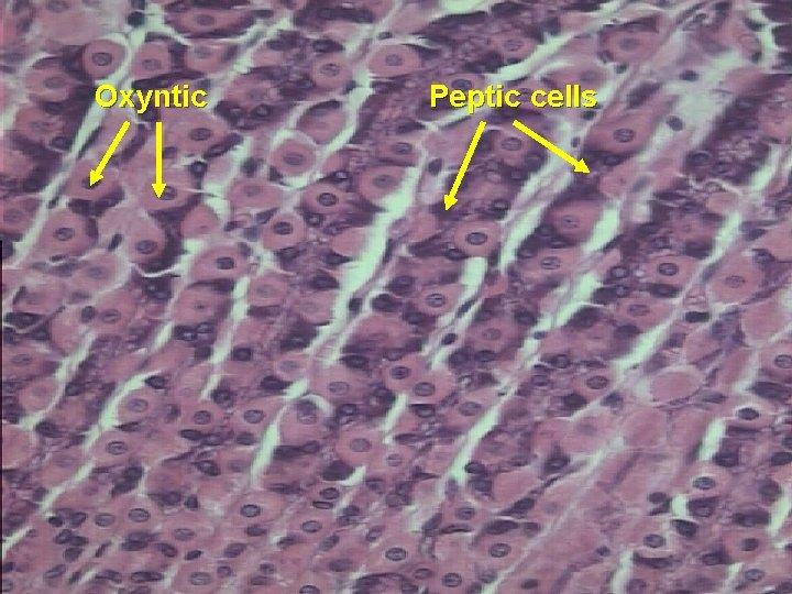 Oxyntic Peptic cells