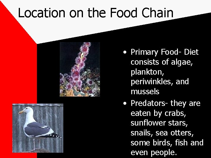 Location on the Food Chain • Primary Food- Diet consists of algae, plankton, periwinkles,