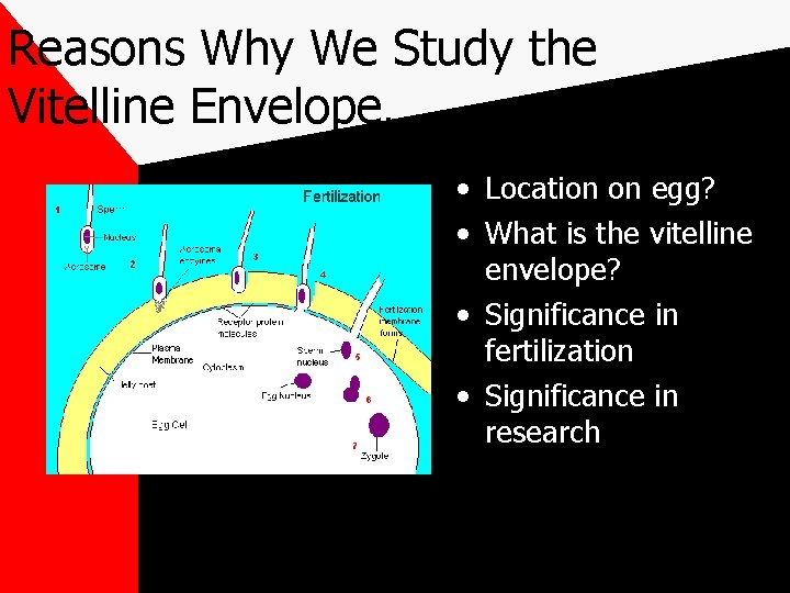Reasons Why We Study the Vitelline Envelope… • Location on egg? • What is