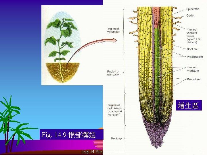 增生區 Fig. 14. 9 根部構造 chap. 14 Plant reproduction 17
