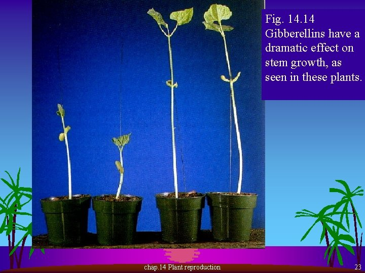 Fig. 14 Gibberellins have a dramatic effect on stem growth, as seen in these