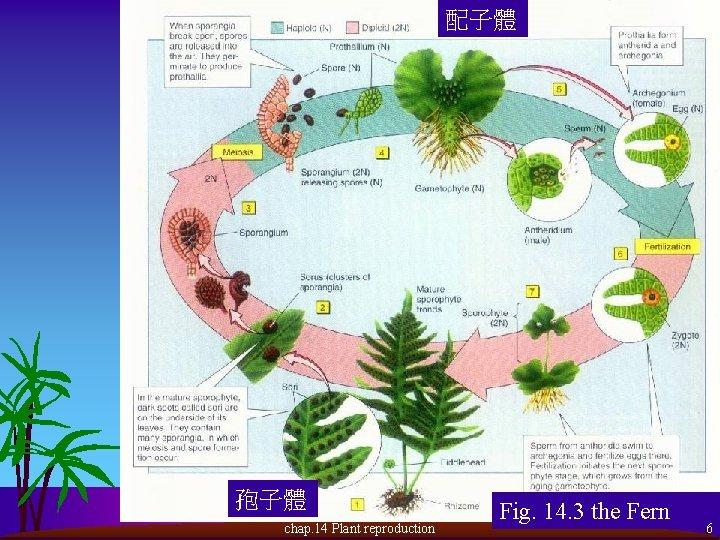 配子體 孢子體 chap. 14 Plant reproduction Fig. 14. 3 the Fern 6