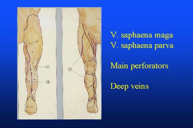 V. saphaena maga V. saphaena parva Main perforators Deep veins