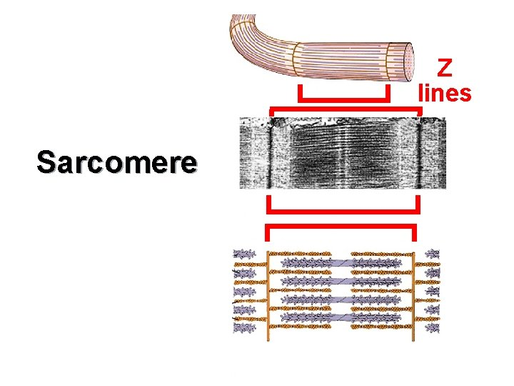 Z lines Sarcomere