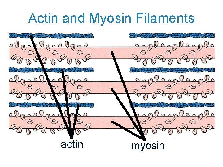 Actin and Myosin Filaments actin myosin