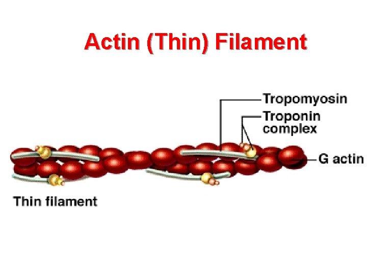 Actin (Thin) Filament