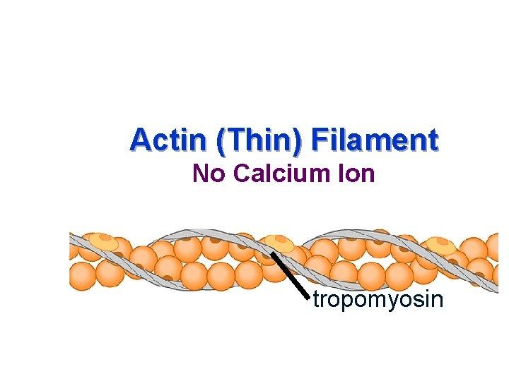Actin (Thin) Filament No Calcium Ion tropomyosin