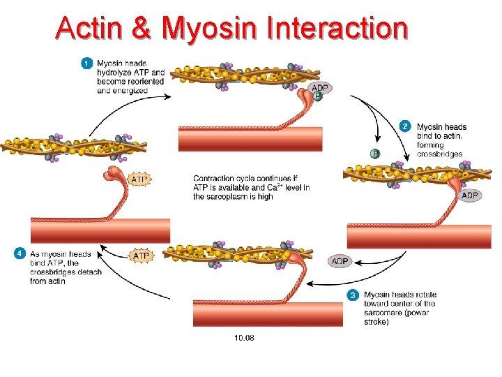 Actin & Myosin Interaction