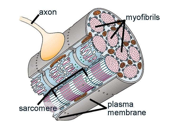 axon sarcomere myofibrils plasma membrane