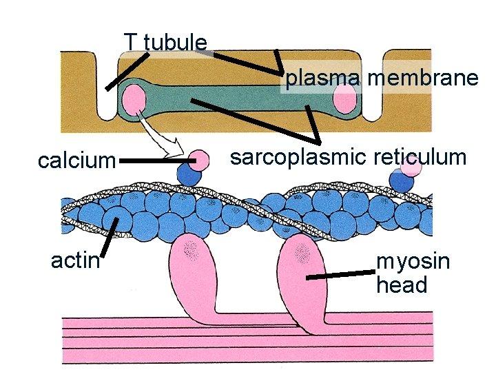 T tubule plasma membrane calcium actin sarcoplasmic reticulum myosin head