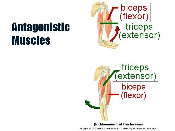 Antagonistic Muscles biceps (flexor) triceps (extensor) biceps (flexor)