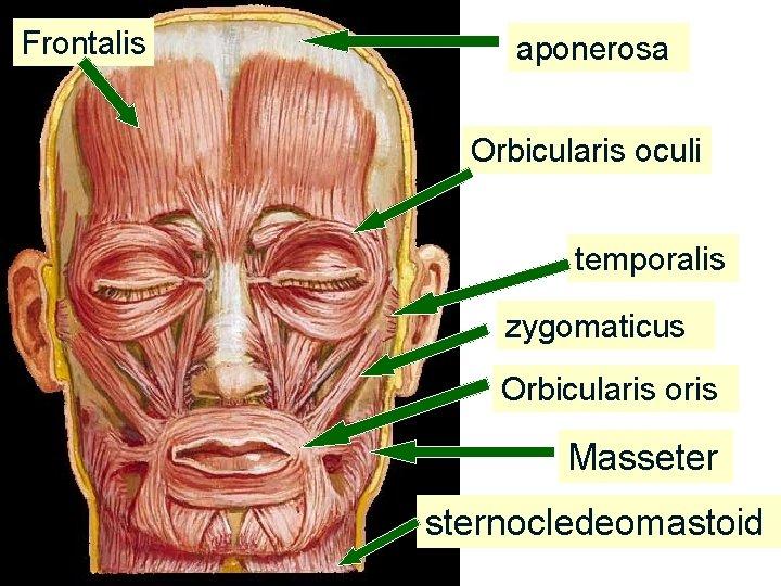 Frontalis aponerosa Orbicularis oculi temporalis zygomaticus Orbicularis oris Masseter sternocledeomastoid