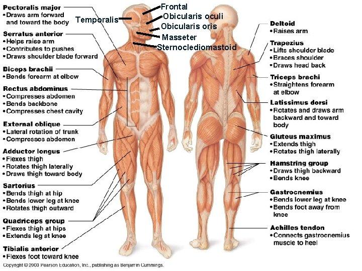 Temporalis Frontal Obicularis oculi Obicularis oris Masseter Sternoclediomastoid