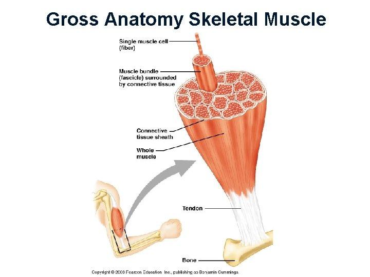 Gross Anatomy Skeletal Muscle