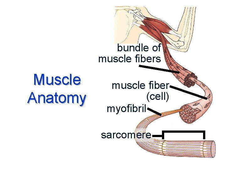 bundle of muscle fibers Muscle Anatomy muscle fiber (cell) myofibril sarcomere
