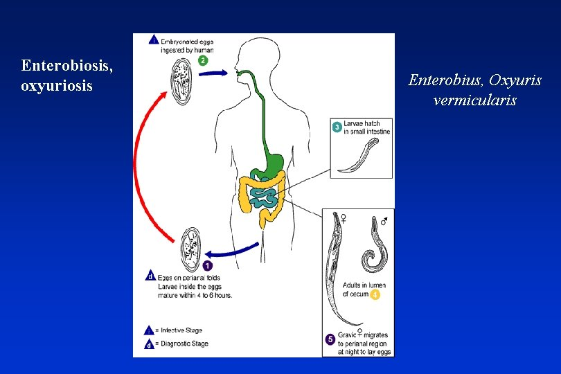 enterobiosis a klinikán hogyan lehet felépülni a parazitákról fórum
