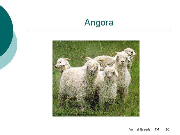Angora Animal Breeds TM 16