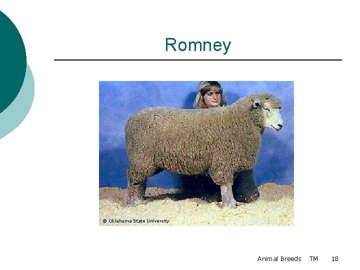 Romney © Oklahoma State University Animal Breeds TM 18