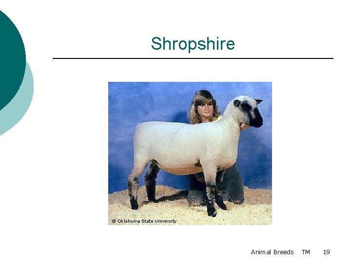 Shropshire © Oklahoma State University Animal Breeds TM 19