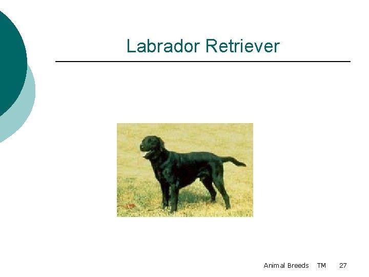 Labrador Retriever Animal Breeds TM 27