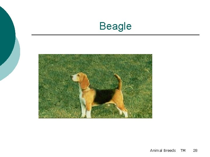Beagle Animal Breeds TM 28