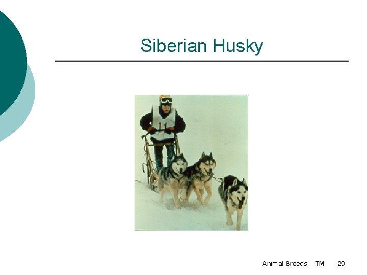 Siberian Husky Animal Breeds TM 29